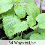 34 Ways to Use Lemon Balm