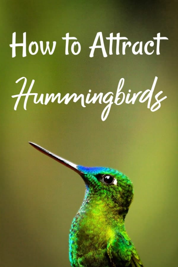 Ready for beautiful hummingbird visits? Let me show you how to attract hummingbirds to your yard and how to make homemade hummingbird nectar. Click to learn more.